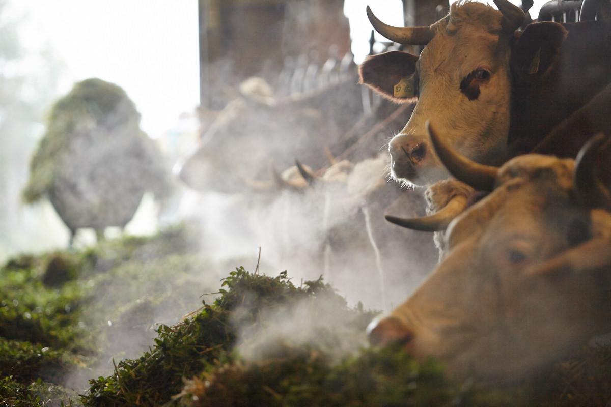 Kühe in Fressgitter fressen Gras morgen dampf kalt romantisch Hörner Honhardter Demeterhöfe Jörn Strojny