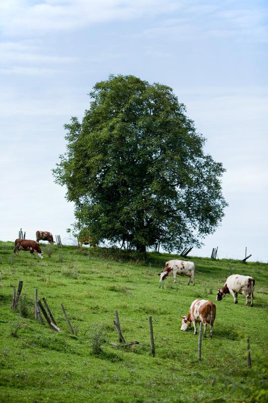 Landschaft Kühe Hörner Weide Baum auf Hügel grasen Jörn Strojny
