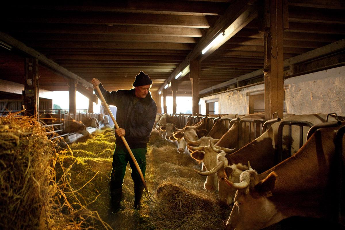 Martin Klopfer Stall füttern Kühe Gras Heu Sommerlich Sonne gelb Honhardter Demeterhöfe Jörn Strojny