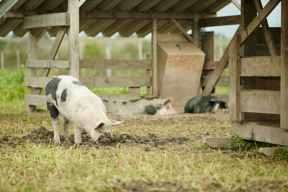 Demeter Schwein Freiland suhlen Biofleisch Fleisch Honhardter Demeterhöfe Jörn Strojny