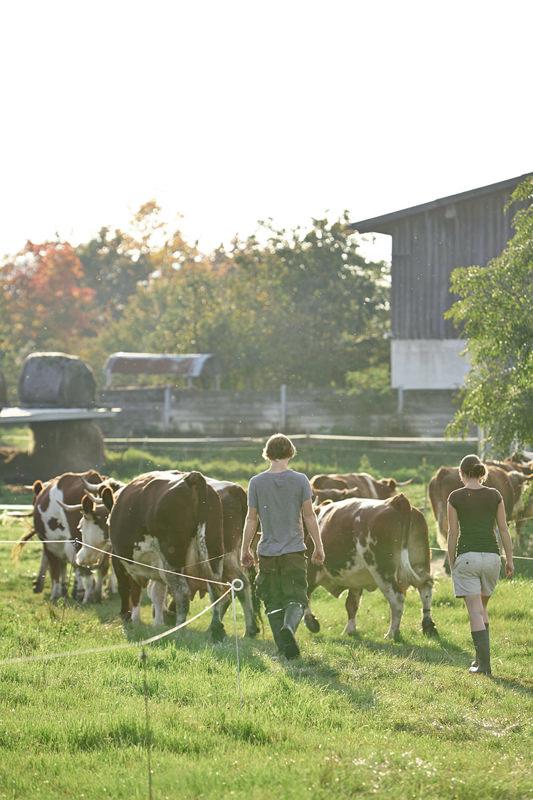 Kühe gehen in Stall Julian Klopfer Julia Rupp Landwirte Milchkühe Honhardter Demeterhöfe Jörn Strojny