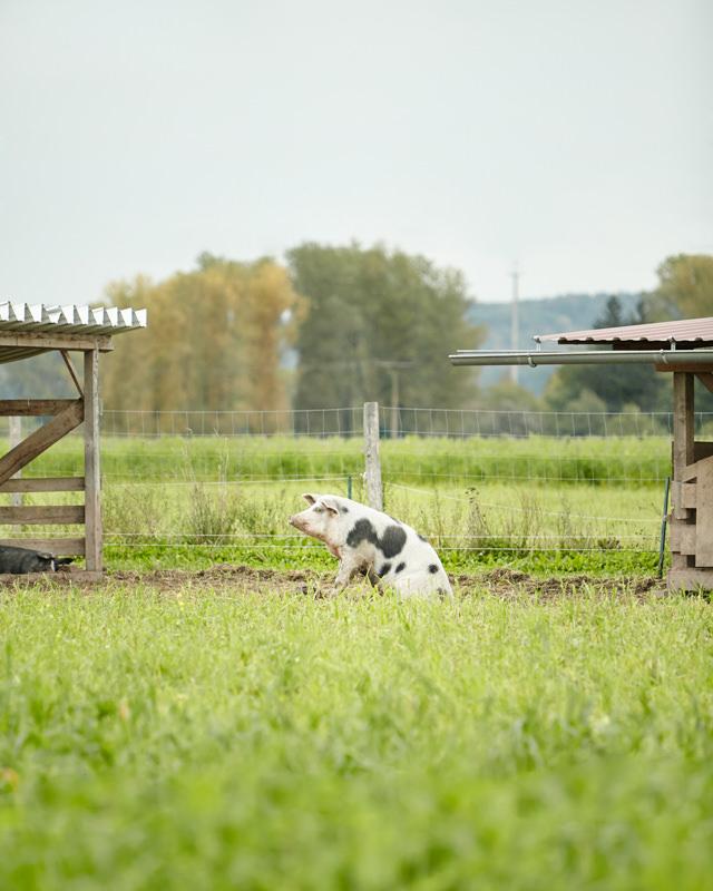 Schwein Demeter sitzend im Gras Freiland Gras Honhardter Demeterbetrieb